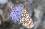 (11) Melitaea em batón-azul