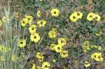 (16) Halimium ocymoides