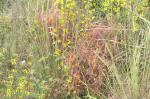 (20) Cuscuta, uma planta parasitária