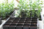 (2) Sementeira recente em tabuleiro de 20 plantas e plantas mais antigas