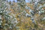 Halimium ocymoides entre eucaliptos