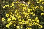 Halimium ocymoides no pico de floração