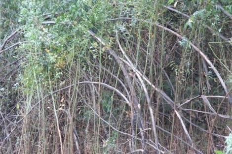 vegetação exótica com 5 metros de altura ainda com as árvores secas em pé
