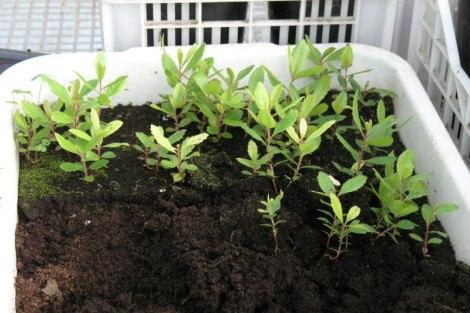 Tabuleiro de sementeira de medronheiros