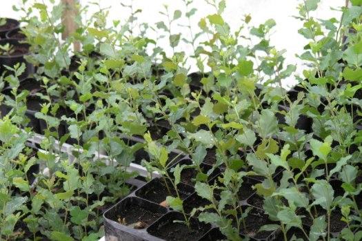 Sobreiros semeados em Maio