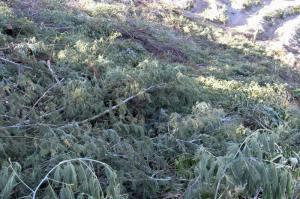 Vegetação exótica e invasora cortada no vale 5
