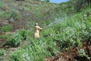Pulverizando eucaliptos e mimosas