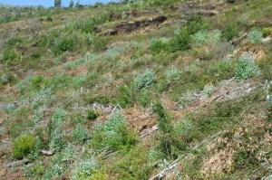 Forte presença de vegetação arbustiva nativa entre os eucaliptos