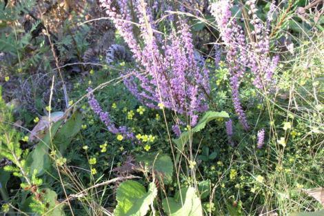 Canteiro com Calluna vulgaris