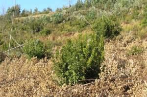 Medronheiros entre eucaliptos ''tratados'' com herbicida