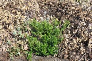 Murta ''cirurgicamente'' poupada do herbicida