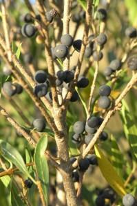 Lentisco com fruto