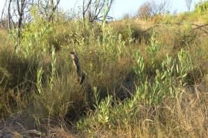 Ainda a Acacia longifolia