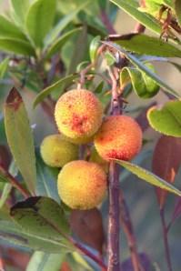 Frutos em pequeno medronheiro