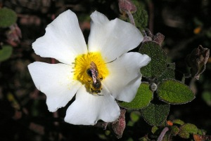 Visita de uma abelha