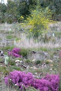 Erica umbelata entre árvores plantadas; em 2º plano, giesta