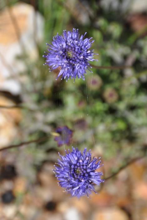 Duas flores de batón-azul unidas por fios de teia