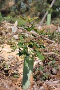 Um carvalho plantado este ano