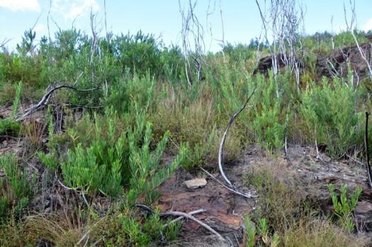 Área já intervencionada mas ainda com A. longifolia