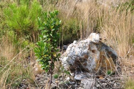 Medronheiro plantado em 2007