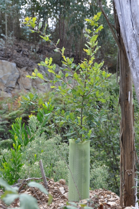 Carvalho-roble plantado este ano