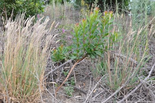 Medronheiro plantado em 2008 numa zona pobre