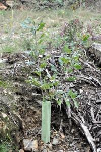 Carvalho plantado junto ao vale nº 6