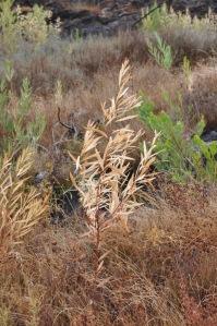 Muitas plantas de Acacia longifolia parecem não ter suportado a seca