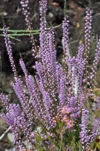 A Calluna vulgaris não se atrasou na floração