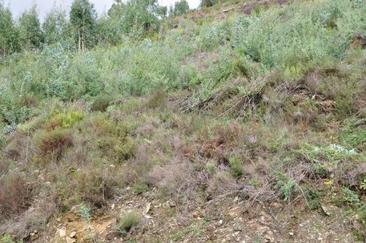Mancha de Acacia longifolia junto ao vale nº 5