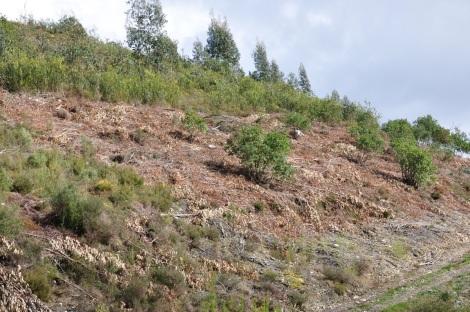 Faixa de Acacia longifolia cortada, agora à espera dos voluntários