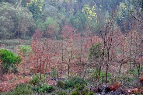 Mancha de carvalhal a jusante do vale nº 6