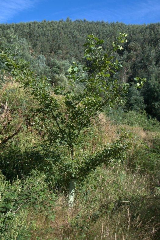 Carvalho plantado em antigas terras agrícolas