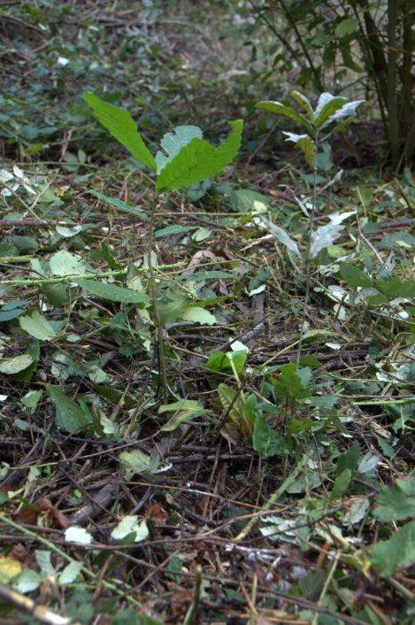 Emergência de uma bolota e uma castanha semeadas no ano passado