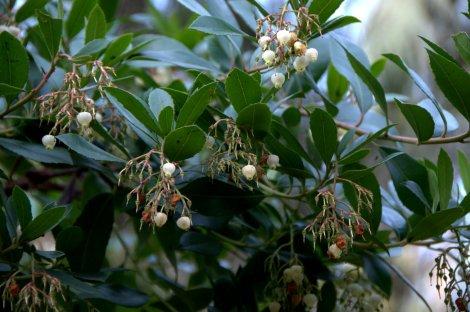 Flores de medronheiro já se transformando em frutos
