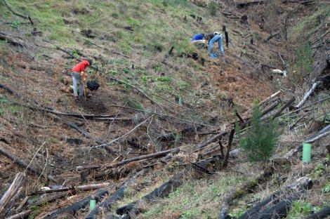 Plantando carvalhos na margem direita do vale