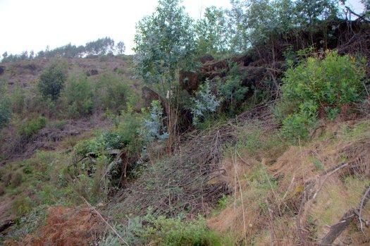 Afloramento rochoso, onde ainda resistem alguns eucaliptos e mimosas