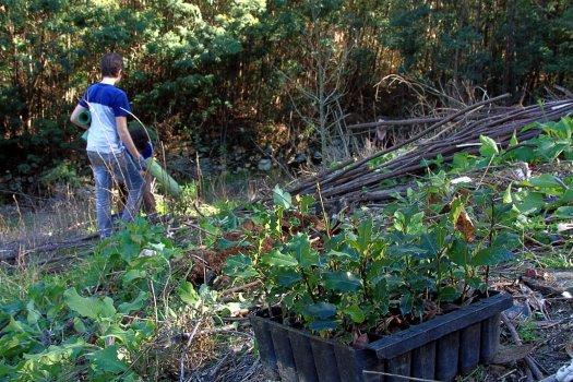 Azevinhos a plantar, em primeiro plano