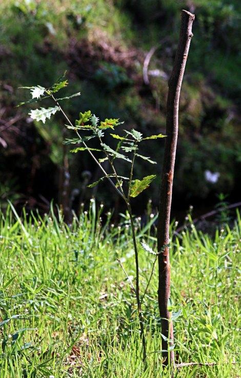 Carvalho de origem seminal (sementeira de 2012)