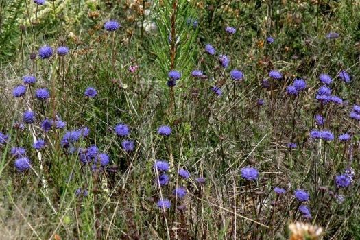 batón-azul, na Primavera, no Cabeço Santo