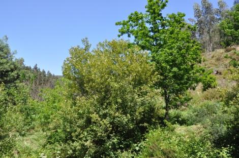 Salgueiros e carvalhos: duas espécies que estruturam ecologicamente esta paisagem