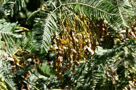 As mimosas, mesmo com poucos anos, já produzem sementes em abundância