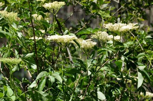 Sabugueiro em flor