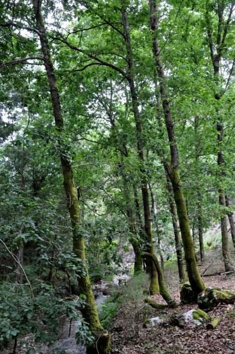 Pequeno carvalhal, a montante do Vale de Barrocas