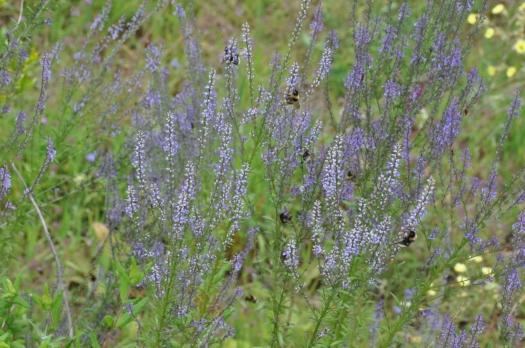 Anahrrinum bellidifolium atraindo abelhões
