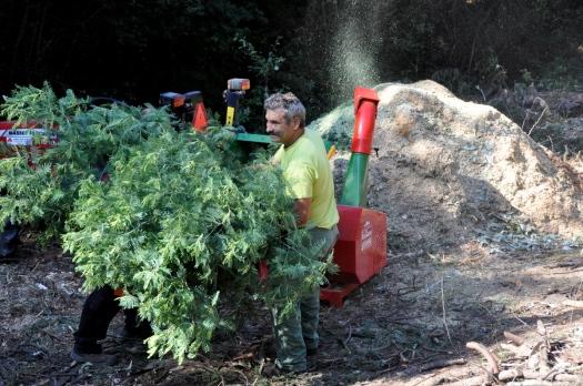 Trituração da ramada de mimosa