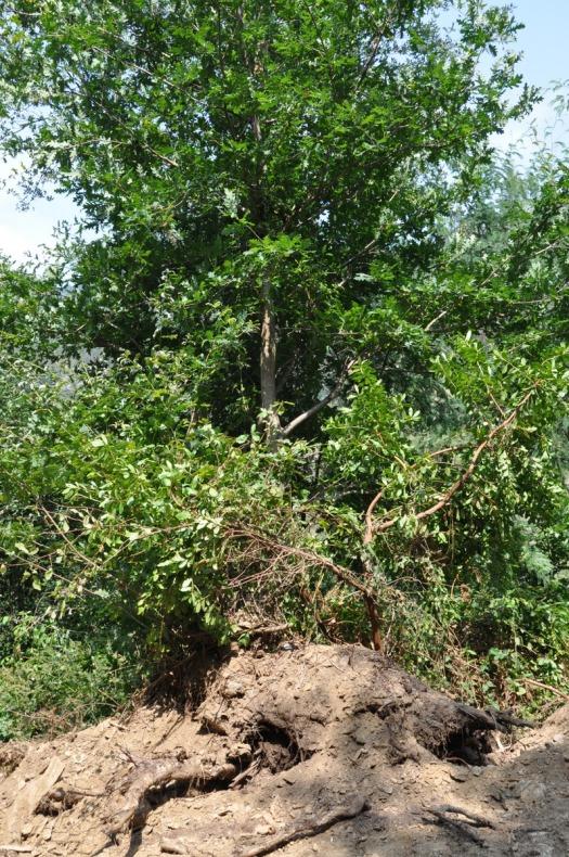 Árvore de rebentação, com mais de 5 m de altura, deixada com metade das raízes à vista