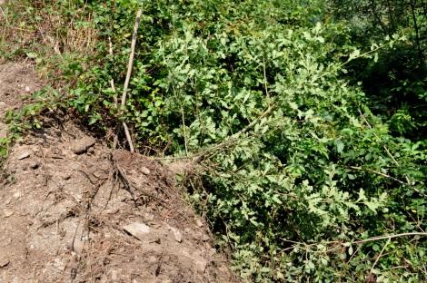 Árvore (que estava junto ao caminho) derrubada