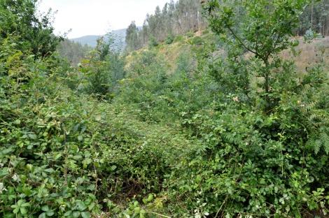 O silvado cresceu de forma explosiva este ano aproveitando-se das árvores plantadas para trepar