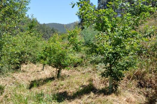 Carvalhos, também plantados em 2010